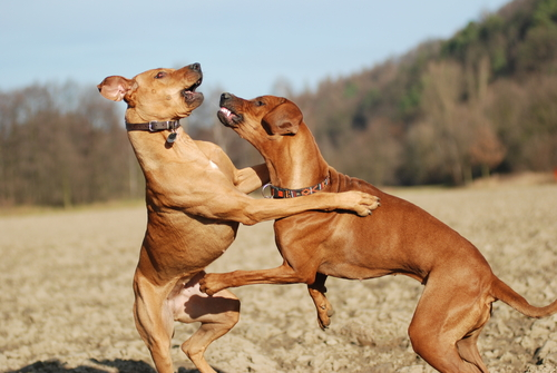 ¿Cómo es un perro dominante o líder?