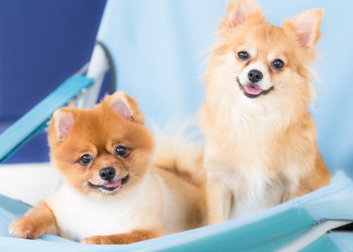 el perro pomerania dos cachorros