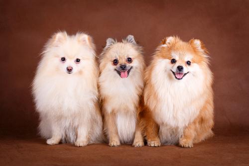 El perro Pomerania, una raza ideal para familias con niños