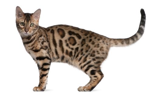 ¿Sabes interpretar las señales corporales de tu gato?