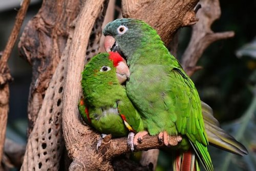 Parrots cuddling together on a branch