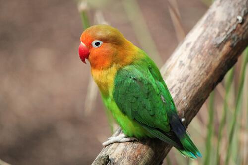 El agapornis destaca por su plumaje de diversos colores