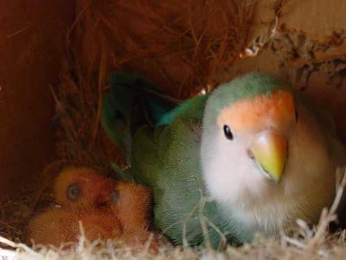 Agapornis en nido