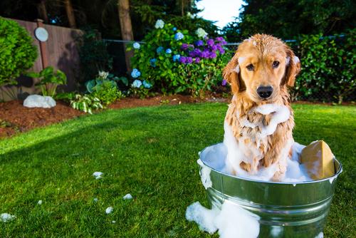 ¿Cómo bañar a un perro de pelo corto?