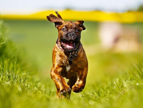 Perro boxer corriendo