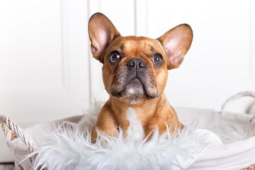 El bulldog francés no precisa de mucho ejercicio diario.