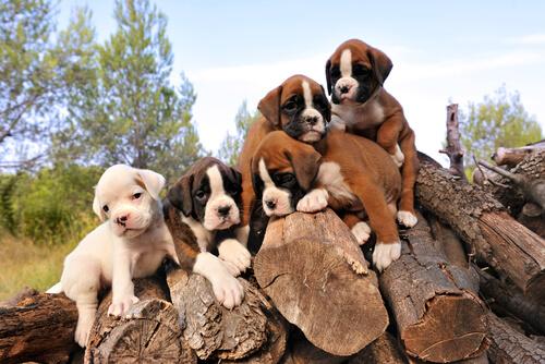 Cachorros de bóxer