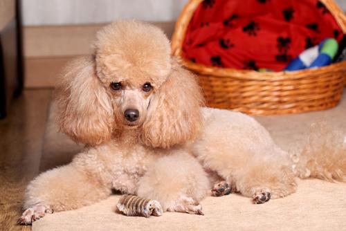 El Caniche O Poodle Un Companero Leal Y Carinoso