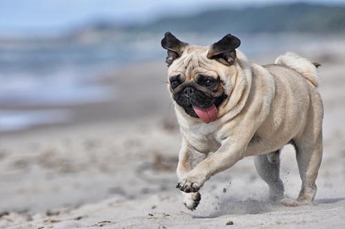 Cão da raça Pug