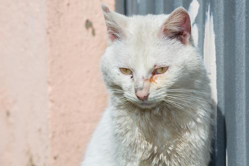 curar la conjuntivitis en gatos
