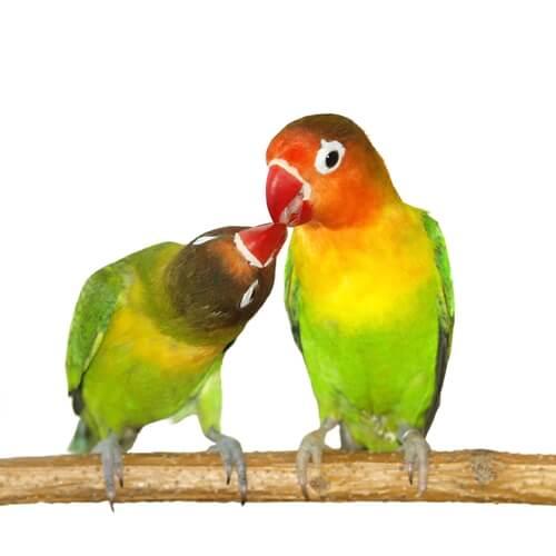 Los agapornis son un género de aves exóticas que suelen vivir en pareja