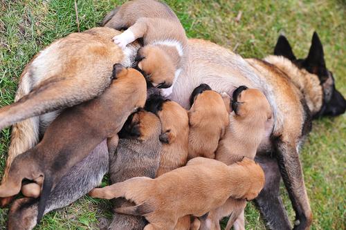 El embarazo en las perras. ¿Qué cuidados necesitan?