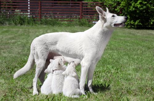 embarazo perras