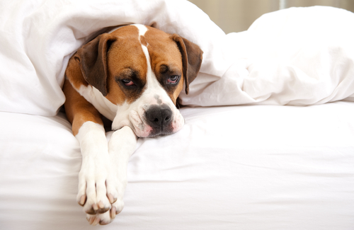 Cómo bajar la fiebre a tu mascota