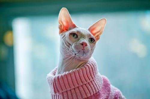 gato con ropa