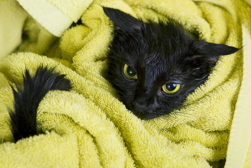 black kitten wrapped in towel