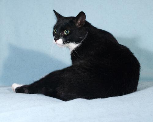 Los gatos negros son muy afectuosos y presentan una belleza especial debido a su pelaje negro