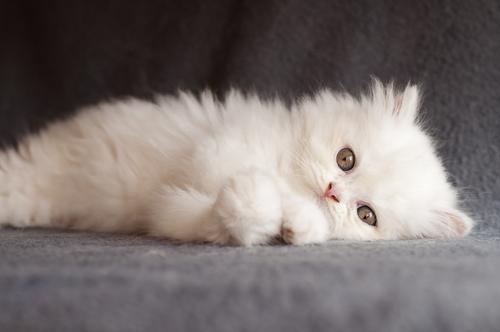 gato persa 2