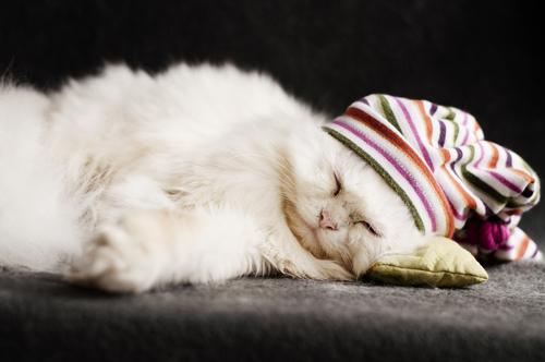 gato persa 3