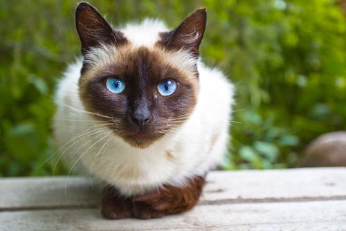 Gato siamés sobre la madera.