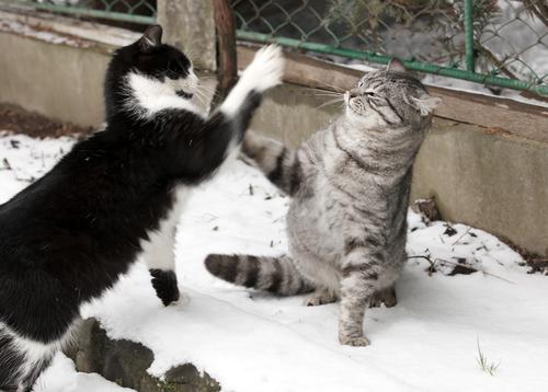 gatos luchando 2