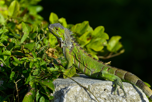 Una iguana en una piedra