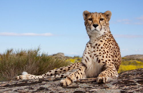 Felinos más grandes: leopardo