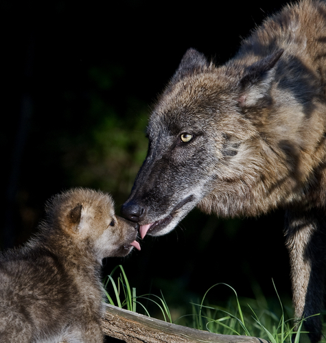 Iberian wolves and cub licking each other's faces