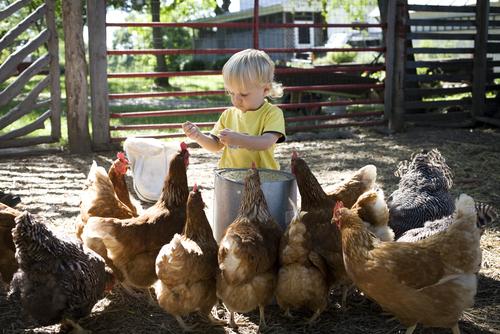 niña y gallinas