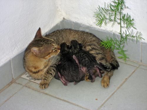 ¿Sabes cómo se desarrolla el parto de los gatos?