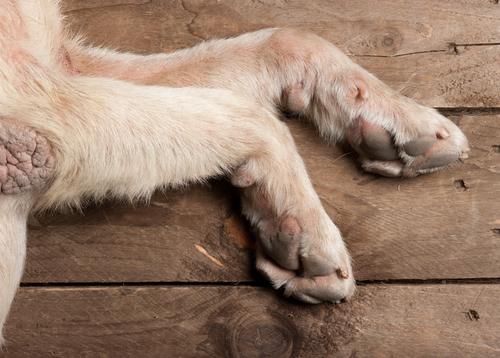 patas perro