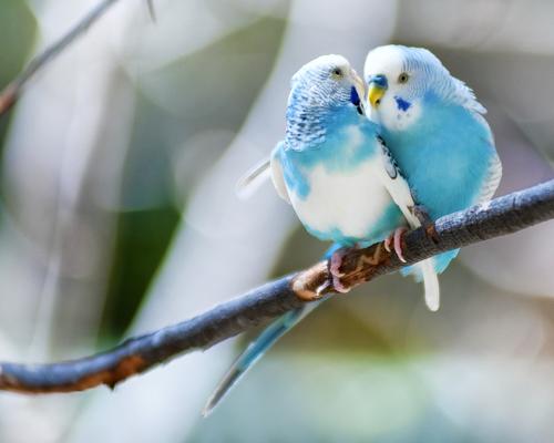 Pareja de periquitos en una rama