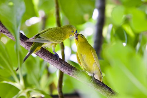 Dos periquitos en una rama