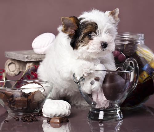 perro come chocolate