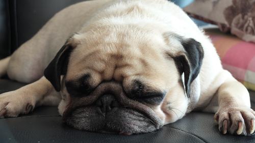 ¿Por qué roncan los perros?