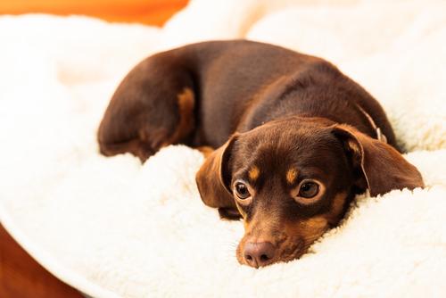 perro en manta