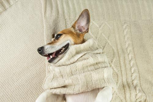 perro jersey