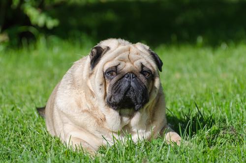 ¿Cómo evitar la terrible obesidad canina?