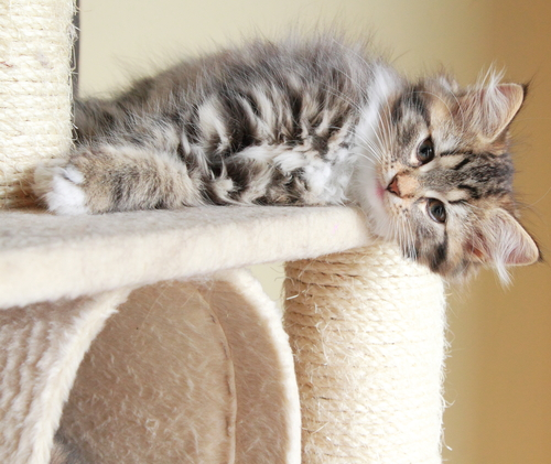 Kitten laying on a scratcher: keep a cat from scratching the furniture.