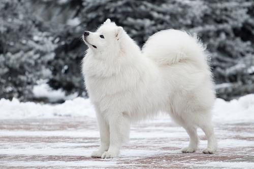 Samoyedo: perro de nieve