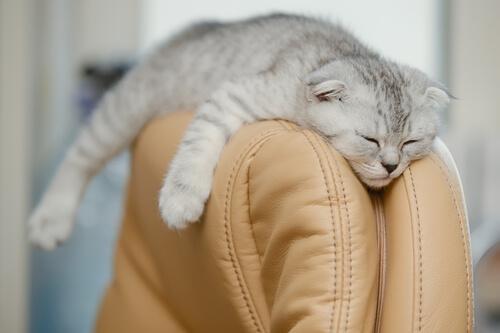El Scottish Fold es una raza de gato procedente de Escocia