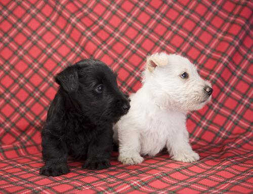 El Scottish Terrier es un perro originario de Escocia.