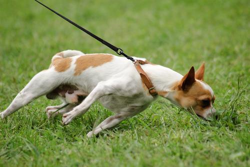 Tirones de correa en perros