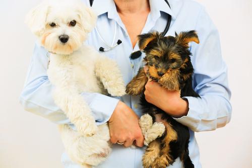 torsion gastrica perros