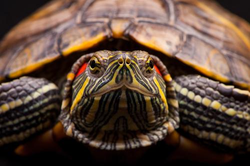 La tortuga de orejas rojas, un animal delicado