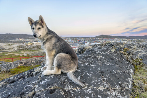Northern Inuit lobo