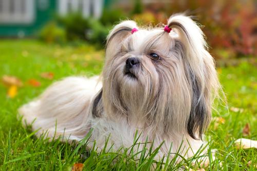 10 razas de perros que viven más tiempo