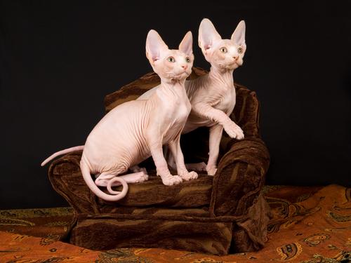 Sphynx: gato sin pelo