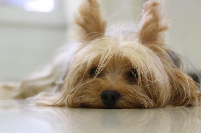 Yorkshire Terrier tumbado mirando a la cámara