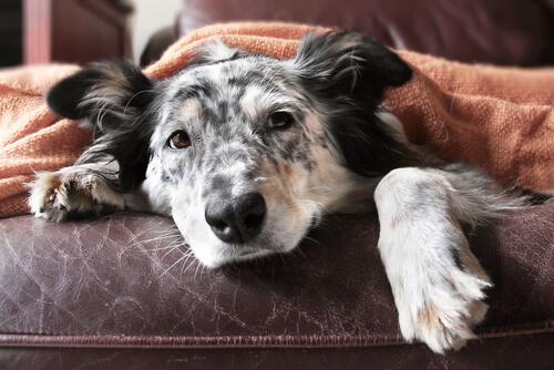 Guía de la vejez para perros